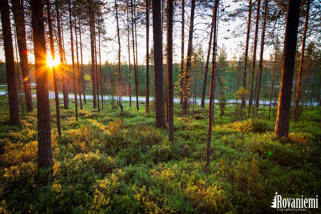 Lappish Pine Forest