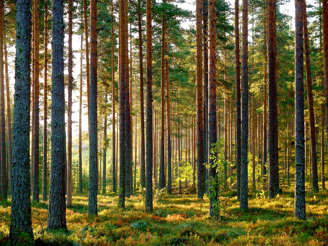 Lappish forests are the source for our ecological log house materials.