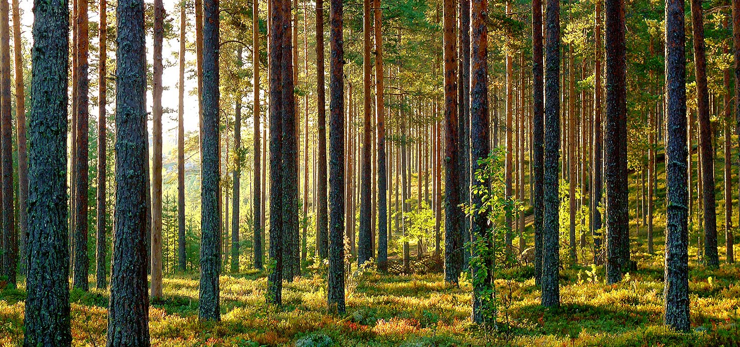Lappish forests are green gold