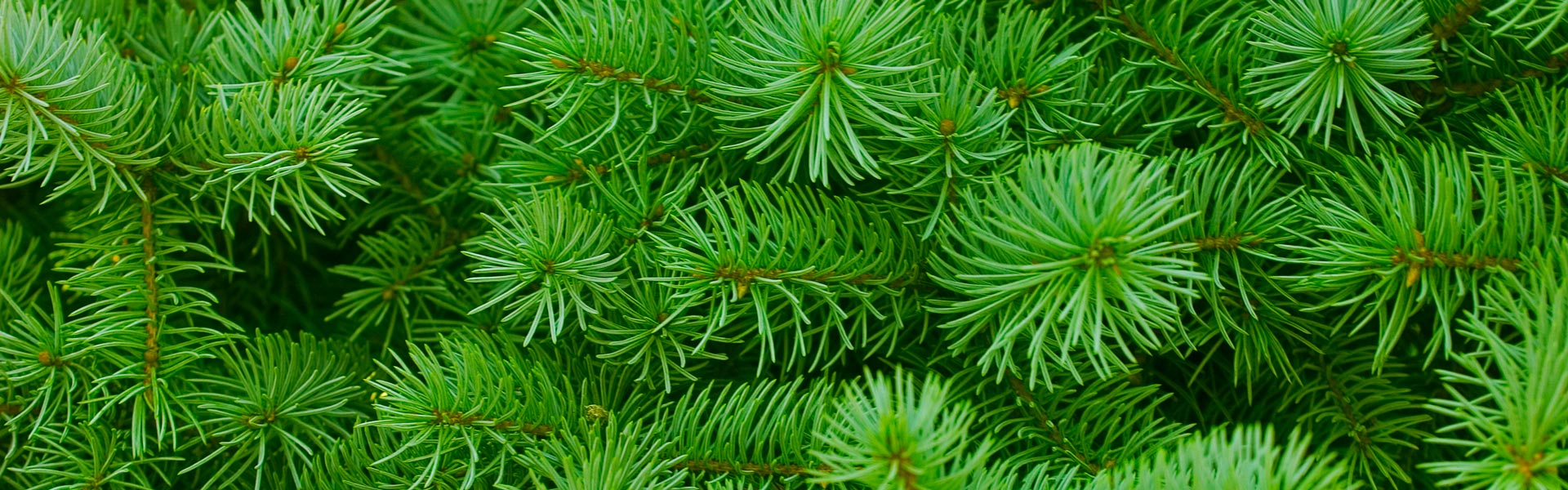 Green pine sprouts growing in Lapland.